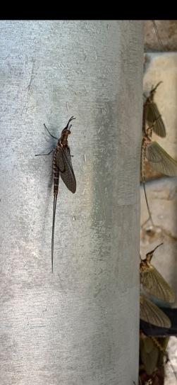 bayfly