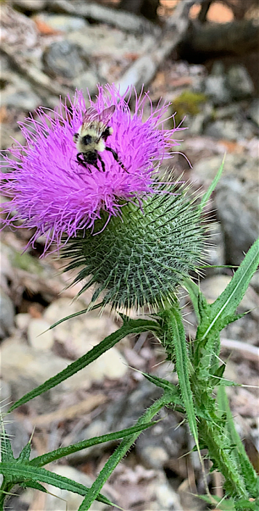 bee and thistle.PNG