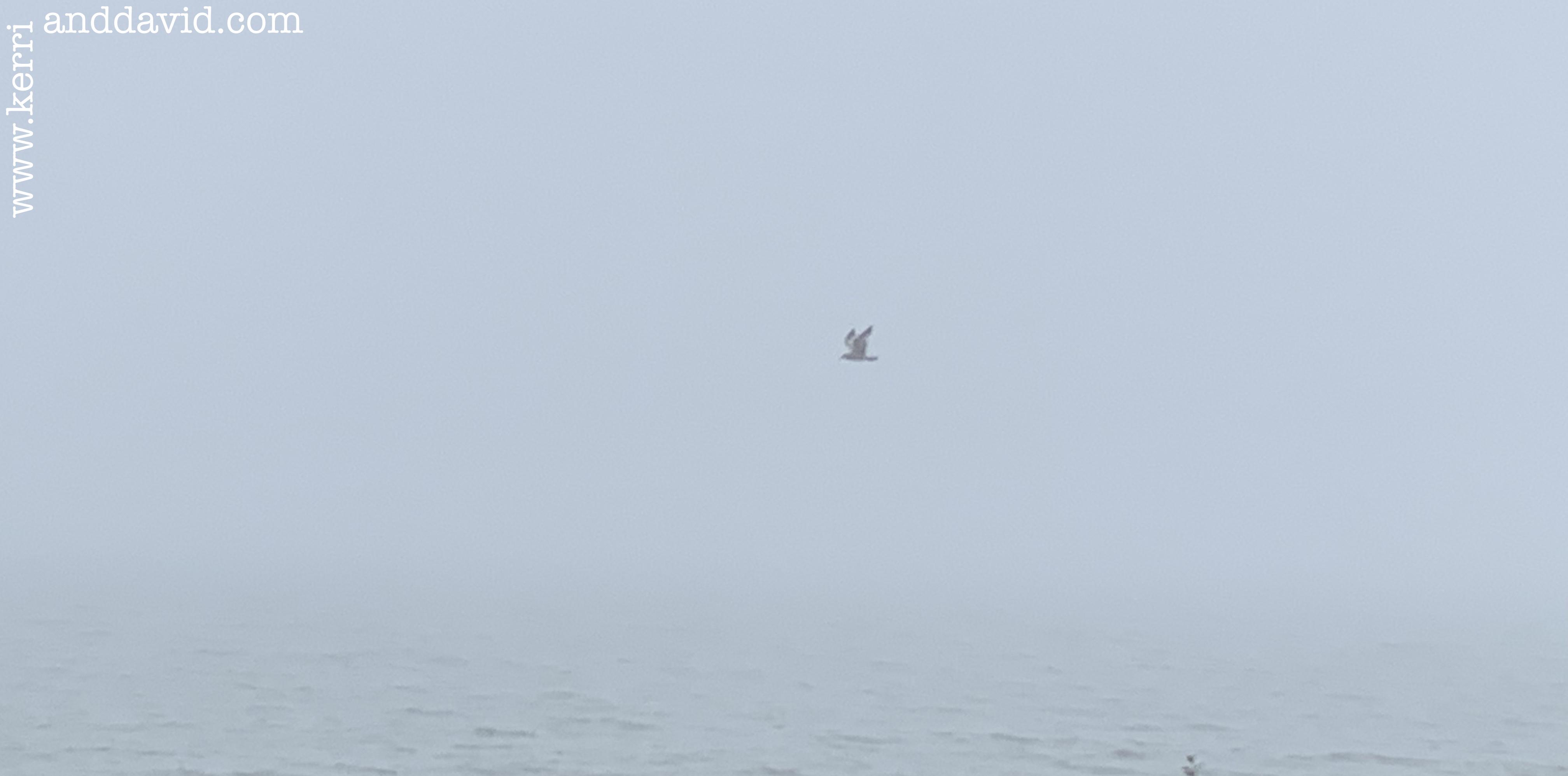 seagull in fog website box