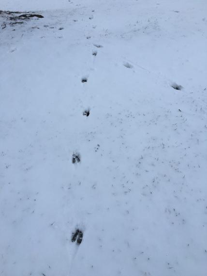 deer tracks converge