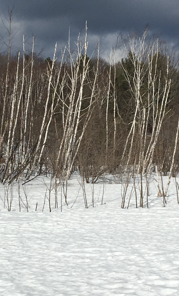 birch in winter