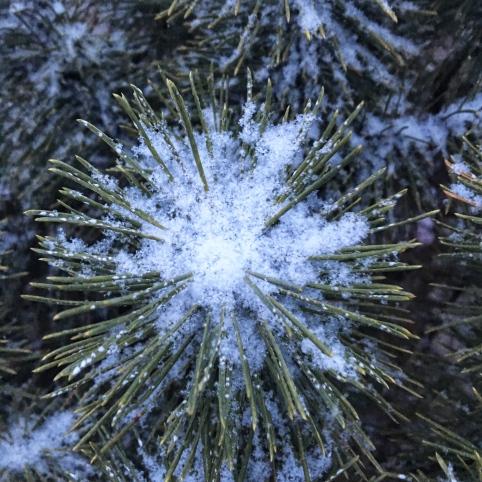 snow in evergreen