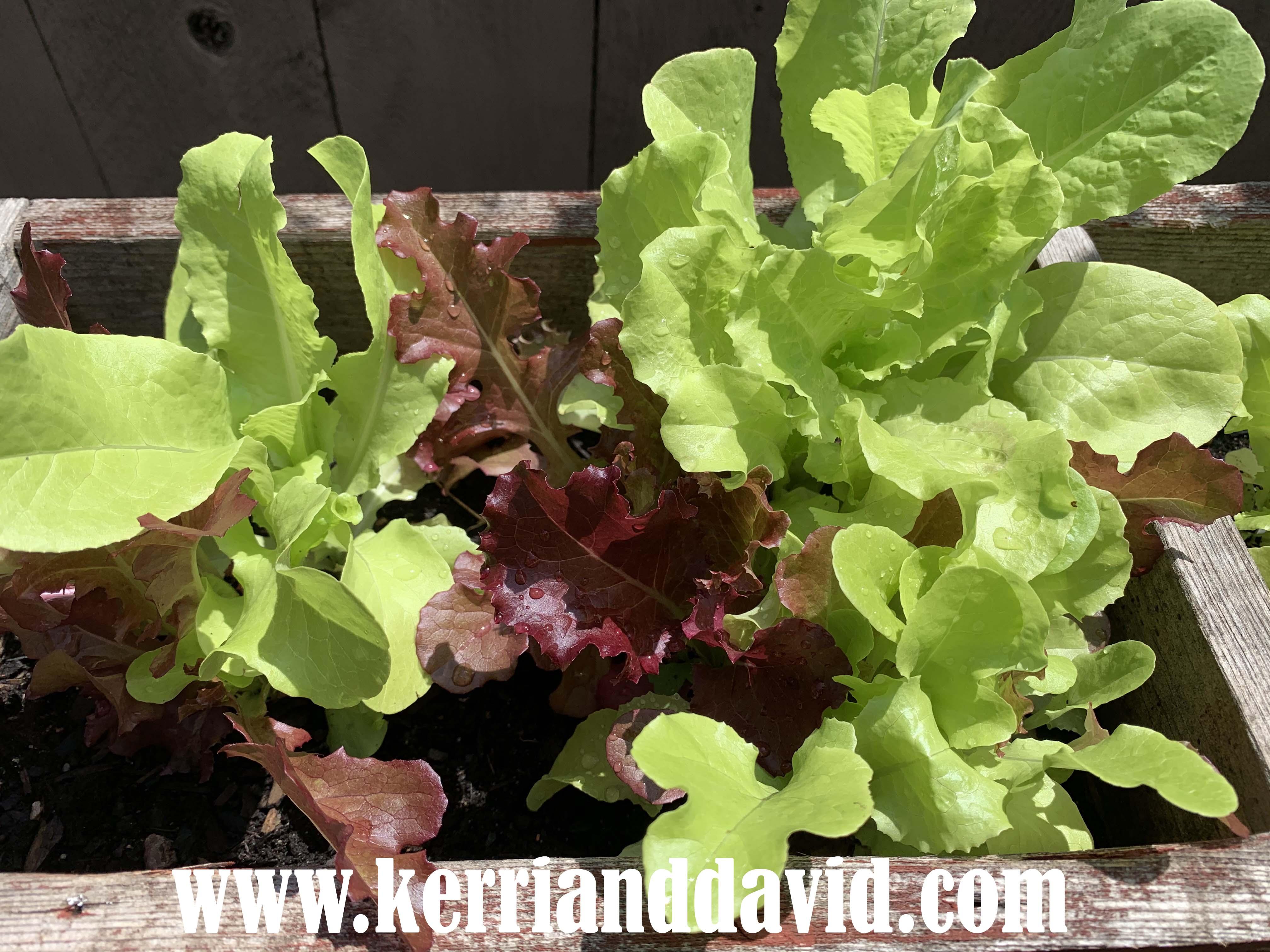 lettuce website box