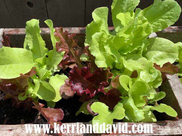 lettuce website box